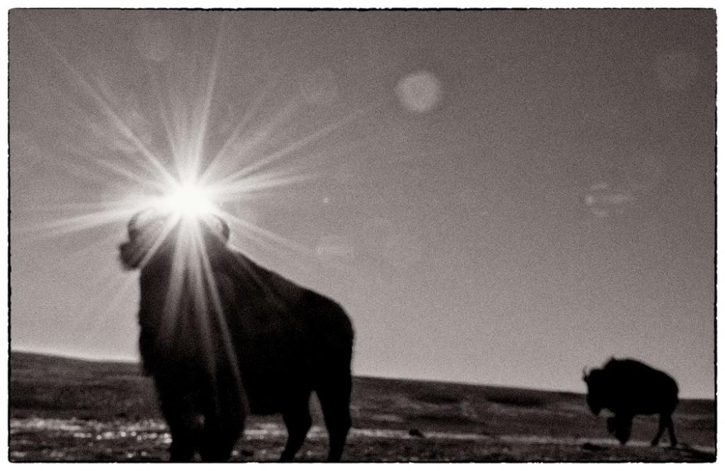 Bison Remnants