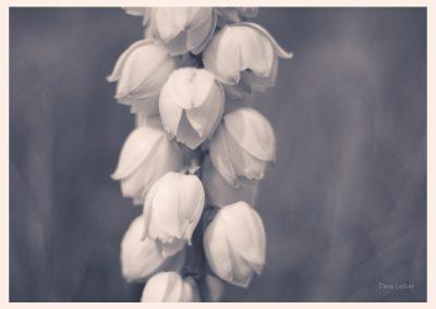 monochrome study of yucca blossoms